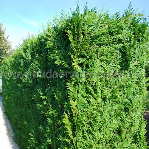 Thuja occidentalis 'Brabant' - Tuja