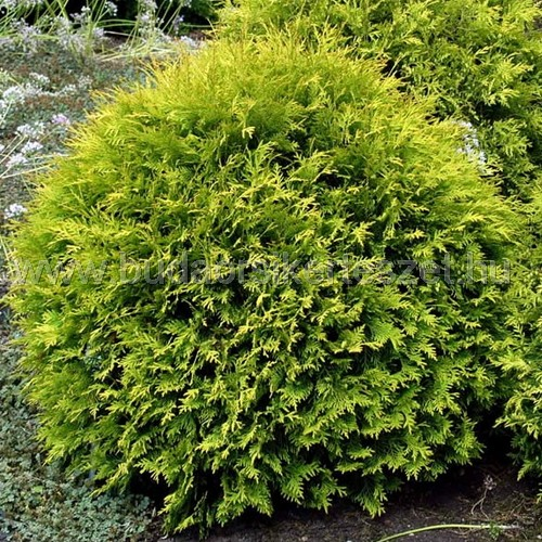 Thuja occidentalis 'Golden Globe' - Sárga gömbtuja