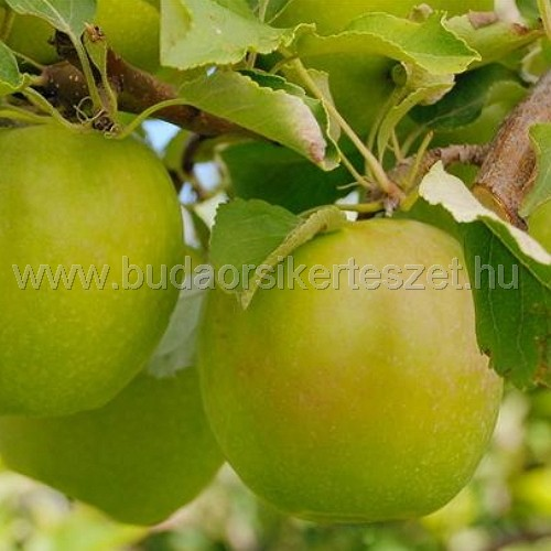 Malus domestica 'Granny Smith' - alma