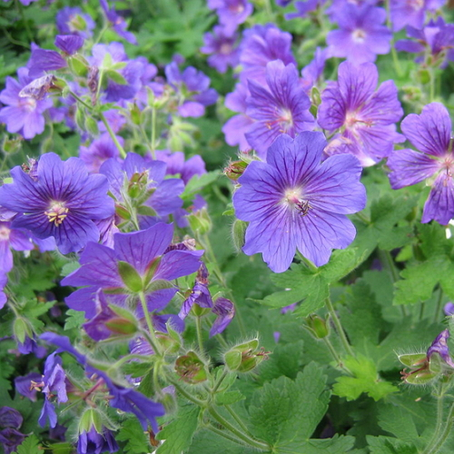 Geranium 'Johnson's Blue' - Gólyaorr