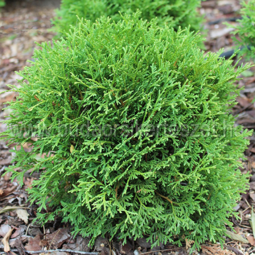 Thuja occidentalis 'Tiny Tim' - Törpe gömb tuja