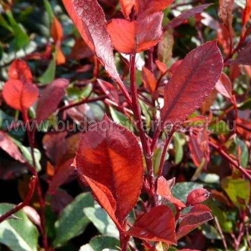 Photinia fraseri 'Little Red Robin' - Törpe korallberkenye