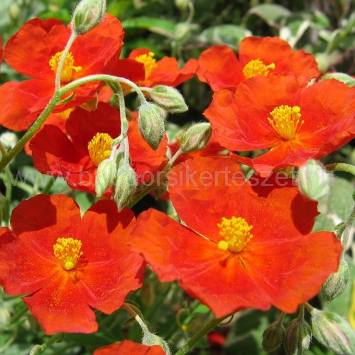 Helianthemum 'Fire Dragon' - Napvirág