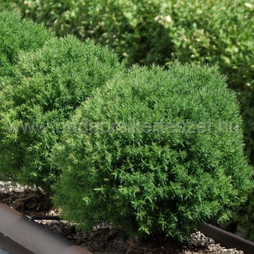 Thuja occidentalis 'Teddy' - Nyugati tuja