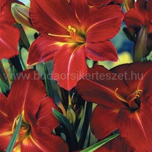 Hemerocallis 'Galena Holiday' - Sásliliom